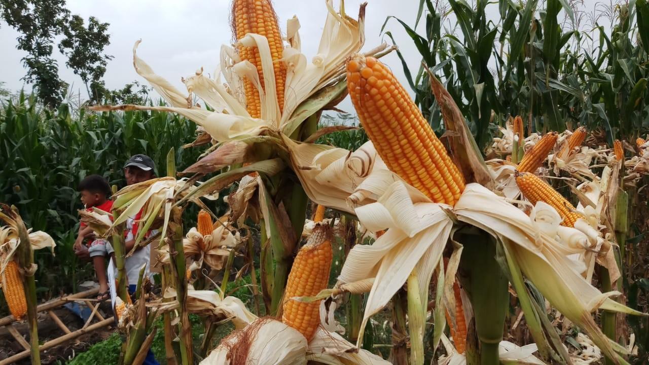 Nilai Tukar Petani Naik Dampak Peningkatan Produktifitas Pertanian
