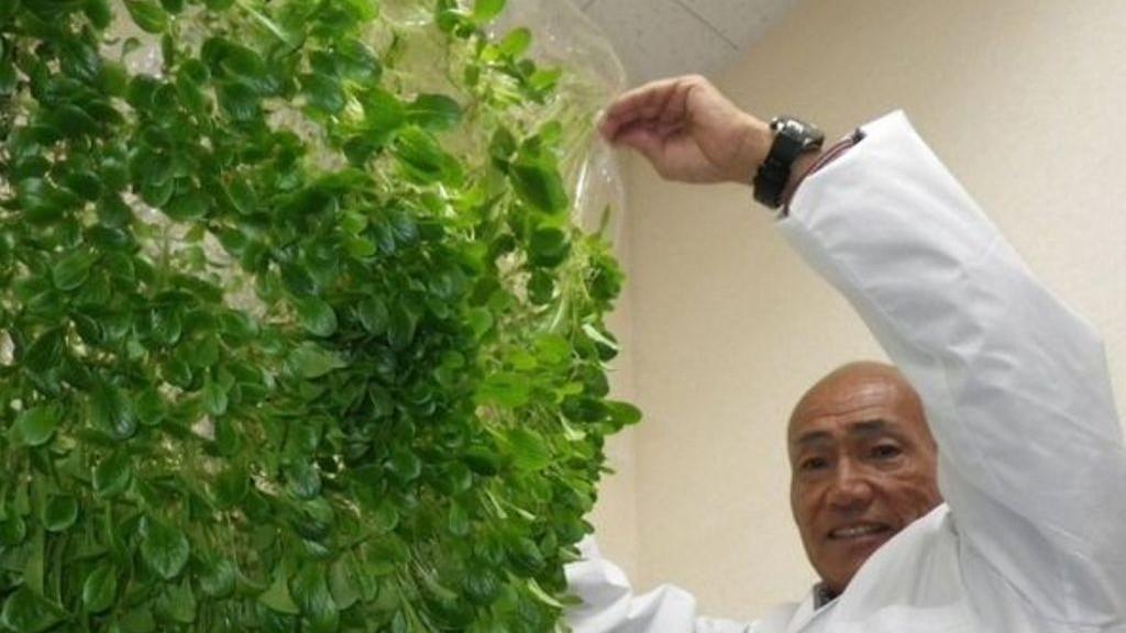Manfaatkan Teknologi, Jepang Kembangkan Pertanian Tanpa Lahan