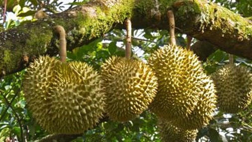 Stiker di Pohon Durian