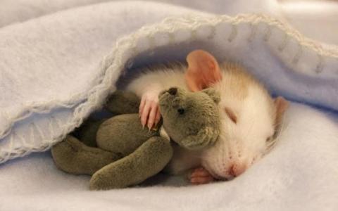 Hukum Membunuh Tikus dengan Siraman Air Panas
