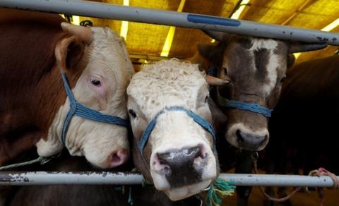 Hukum Mengonsumsi Daging Wagyu