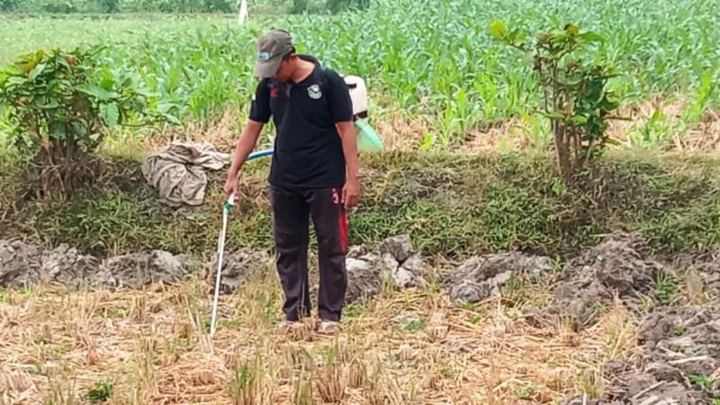 Petani Jember Gagas Jagung sebagai Tanaman Favorit