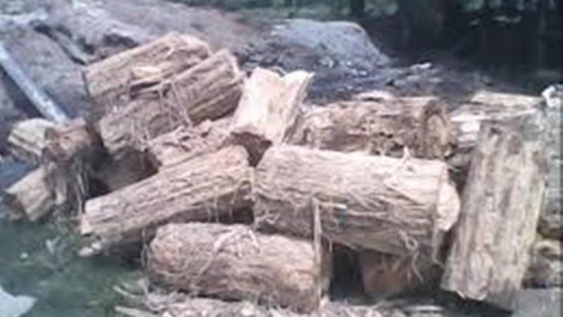 Pemanfaatan Ampas Sagu untuk Pakan Sapi di Kepulauan Rangsang Riau