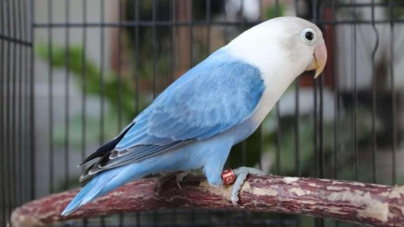 Burung Lovebird. (Foto: via caracari.us)