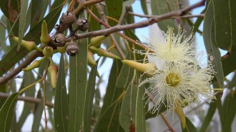 Kementan Temukan Potensi Eucalyptus untuk Cegah Corona