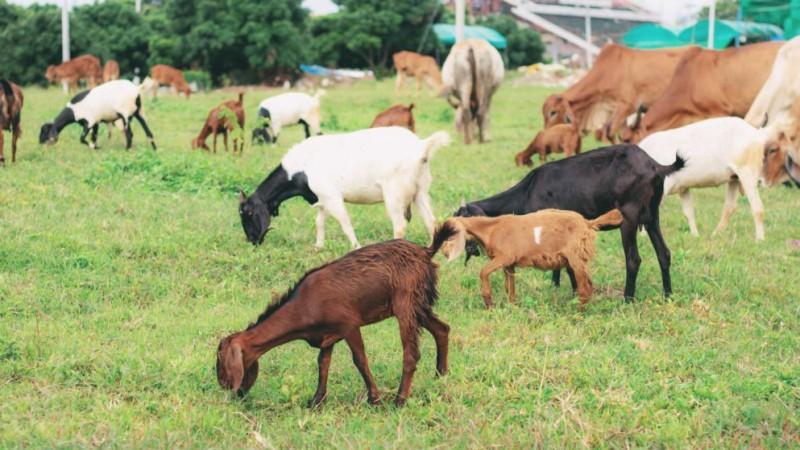 Bolehkah Berkurban dengan Hewan Selain Unta, Sapi, dan Kambing?