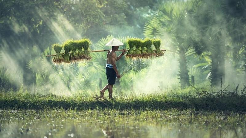 Bolehkah Bawon (Upah Memanen) Diambilkan dari Jatah Wajib Zakat Pertanian?