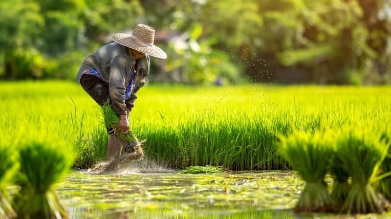 Akad Inden dan Kejatuhan Harga Produk Pertanian dalam Fiqih Muamalah