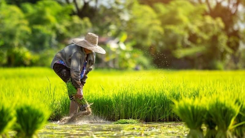 Cara Menghitung Zakat Pertanian Tanaman Pangan