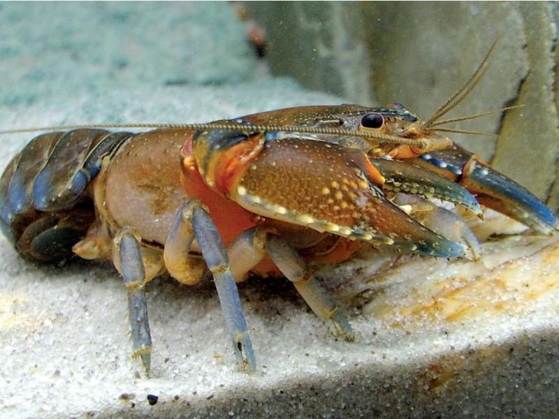 PBNU Minta Menteri KKP Prioritaskan Budidaya dan Restocking Lobster di Dalam Negeri