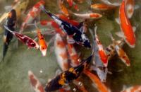 Menyantap Ikan Bakar Pemakan Tinja