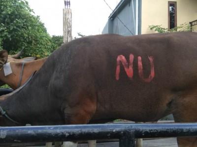 NU Maluku Sebar Tali Kasih Lewat Daging Kurban