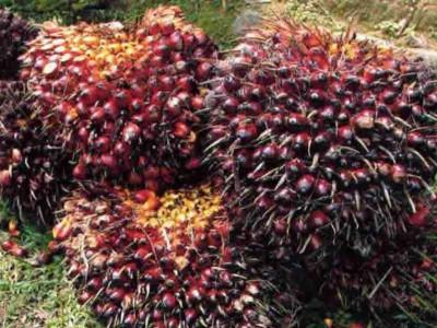 Langkah Kementan Wujudkan Indonesia Produsen Sawit Terbesar Dunia