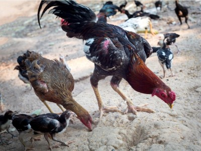 Hewan Ternak Merusak Ladang Orang Lain, Wajib Ganti Rugi?