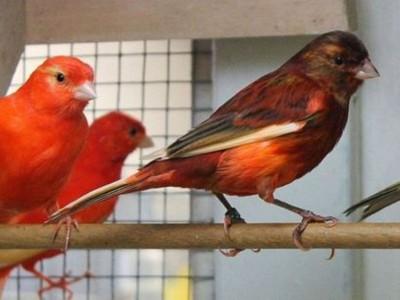 Hukum Jual-Beli Burung Peliharaan