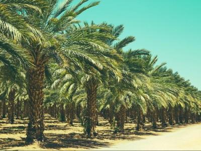 Kisah Nabi Muhammad Bantu Salman Al-Farisi Menanam 300 Pohon untuk Kemerdekaannya