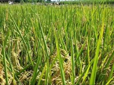 Krisis Pandemi, Petani Banten Justru Panen Raya Surplus Beras 160.132 Ton