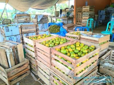 Berkah Wabah Covid-19, Hasil Penen Jeruk Keprok Asal Bengkulu Ludes Terjual
