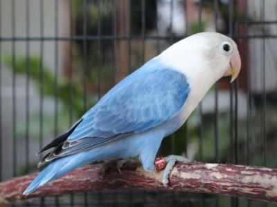 Kisah Burung Lovebird dan Majikannya
