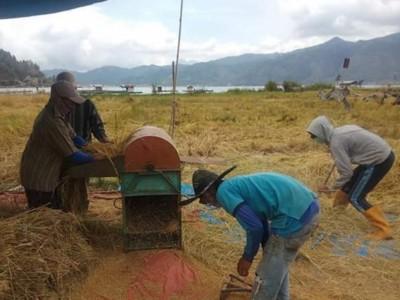 Aceh Tamiang Panen Padi, Amankan Stok Pangan di Tengah Pandemi