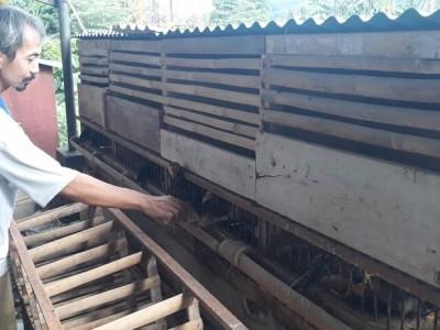 Warga Pringsewu Ini Maksimalkan Hobi Ternak Ayam di Tengah Pandemi