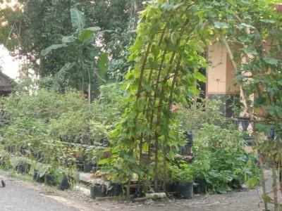 Cara Warga Desa Jatimulyo, Kebumen Jaga Ketahanan Pangan