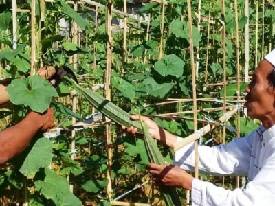 Berdayakan Lahan, NU di Kawasan Sumenep Sukses Panen Sayur Gambas