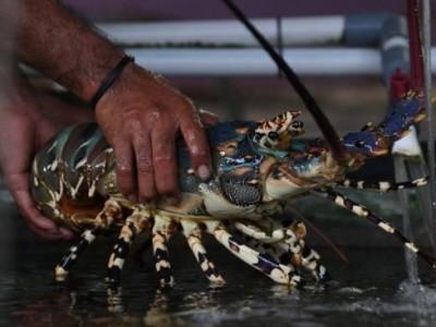 Menyelamatkan Ekosistem Lobster