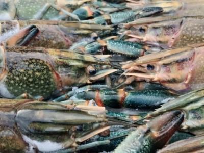 Besok Siang, LBM PBNU Bahas Kebijakan Menteri KKP Soal Ekspor Lobster