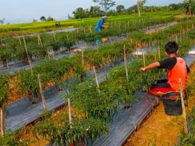 Sukses Panen Cabai, Ketua IPNU Way Kanan Lampung: Tak Lepas dari Proses
