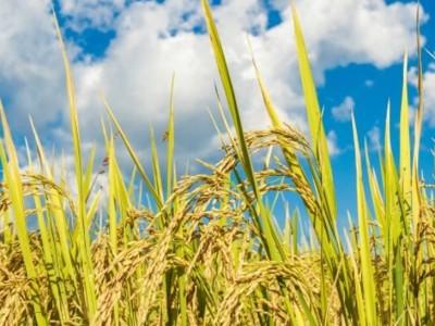 Sawah di Sragen Ladang Maut bagi Petani