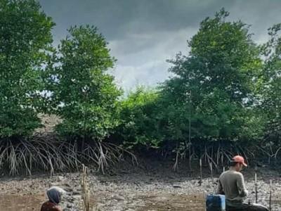 Beragam Manfaat Tanaman Mangrove bagi Kehidupan