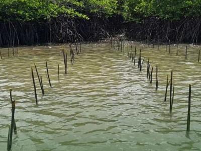 Tantangan-tantangan Rehabilitasi Mangrove di Indonesia