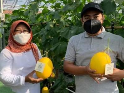 Omzet Puluhan Juta Kader Ansor Tegal dengan Budi Daya Melon Golden